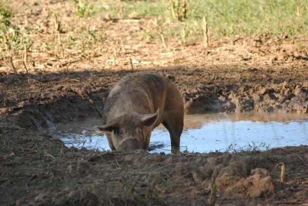 En lycklig gris