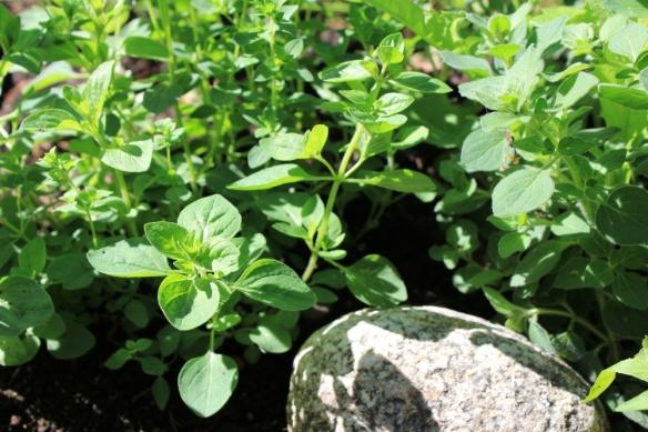 Herb Garden, Oregano