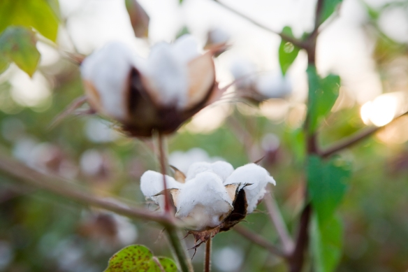 Cotton plant© Paul Hahn/Aid by Trade Foundation.
